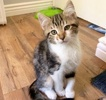 A picture of #ET03086: Dakota a Domestic Medium Hair gray tabby/whte