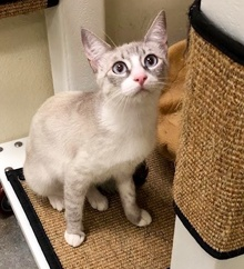 [picture of Isles, a Siamese lynx point cat]
