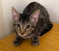 A picture of #ET03089: Spencer a Domestic Short Hair tabby