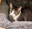 A picture of #ET03090: Sabrina a Domestic Short Hair tabby/white