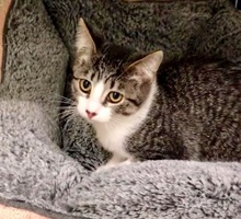 [picture of Sabrina, a Domestic Short Hair tabby/white\ cat]