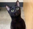 A picture of #ET03091: Helena a Domestic Short Hair black