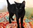 [picture of Helena, a Domestic Short Hair black cat]