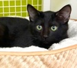 A picture of #ET03092: Ashley a Domestic Short Hair black