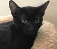 [picture of Ashley, a Domestic Short Hair black cat]