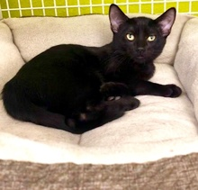 [picture of Ashley, a Domestic Short Hair black\ cat]