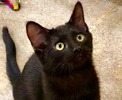A picture of #ET03093: Marty a Domestic Short Hair black