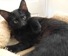 [picture of Marty, a Domestic Short Hair black\ cat]