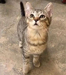 [another picture of Ellie Belle, a Domestic Short Hair tabby\ cat]