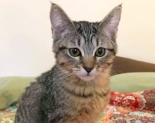[picture of Ellie Belle, a Domestic Short Hair tabby\ cat]