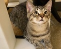 A picture of #ET03095: Mikey a Domestic Short Hair tabby