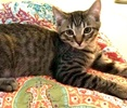 [picture of Mikey, a Domestic Short Hair tabby cat]