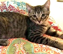 [picture of Mikey, a Domestic Short Hair tabby\ cat]