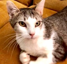 [picture of Bellflower, a Domestic Short Hair brown tabby/white\ cat]