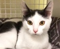 A picture of #ET03097: Mojito a Domestic Short Hair white/blue