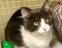 A picture of #ET03098: Tequila a Domestic Long Hair blue/white