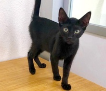 [another picture of Mushroom, a Domestic Short Hair black\ cat]