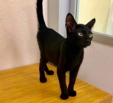 [picture of Mushroom, a Domestic Short Hair black\ cat]
