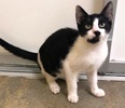 A picture of #ET03100: Turnip a Domestic Short Hair black/white