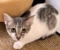 A picture of #ET03101: Cucumber a Turkish Van Mix white/gray tabby