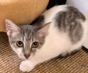 [picture of Cucumber, a Turkish Van Mix white/gray tabby\ cat]