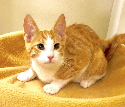 [picture of Radish, a Domestic Short Hair orange/white\ cat]