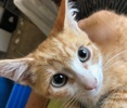 A picture of #ET03103: Choncho a Domestic Medium Hair orange/white