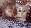A picture of #ET03104: Flower a Domestic Long Hair calico