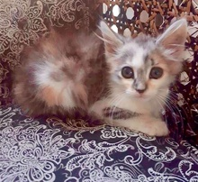 [picture of Flower, a Domestic Long Hair calico\ cat]