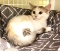 A picture of #ET03105: Rose Petal a Domestic Long Hair calico