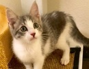 A picture of #ET03108: Cupie a Domestic Short Hair sliver/white