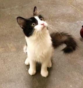 [another picture of Kauai, a Ragdoll Mix calico\ cat]