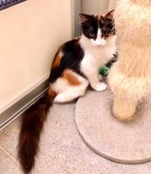 [picture of Kauai, a Ragdoll Mix calico cat]