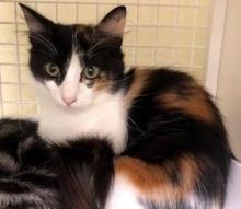 [picture of Kauai, a Ragdoll Mix calico\ cat]