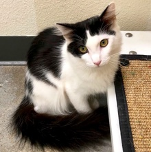 [another picture of Molokai, a Ragdoll Mix black/white\ cat]
