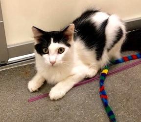 [picture of Molokai, a Ragdoll Mix black/white cat]