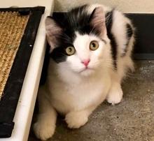 [picture of Molokai, a Ragdoll Mix black/white\ cat]
