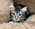 A picture of #ET03114: Lanai a Ragdoll Mix gray tabby/white