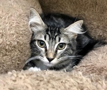 [picture of Lanai, a Ragdoll Mix gray tabby/white\ cat]