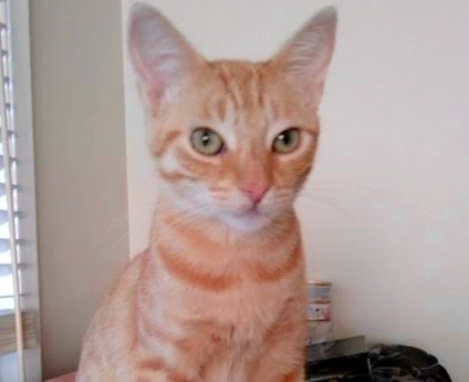 [picture of Ginger, a Oriental Mix orange\ cat]