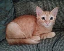 [picture of Aslan, a Domestic Long Hair orange\ cat]