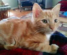 [picture of Frodo, a Domestic Short Hair orange/white\ cat]
