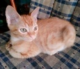 A picture of #ET03118: Skippy a Domestic Short Hair orange
