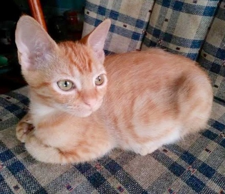 [picture of Skippy, a Domestic Short Hair orange\ cat]
