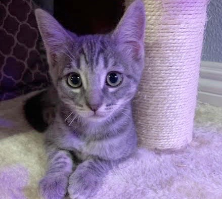 [picture of Ribbon, a Domestic Short Hair silver\ cat]