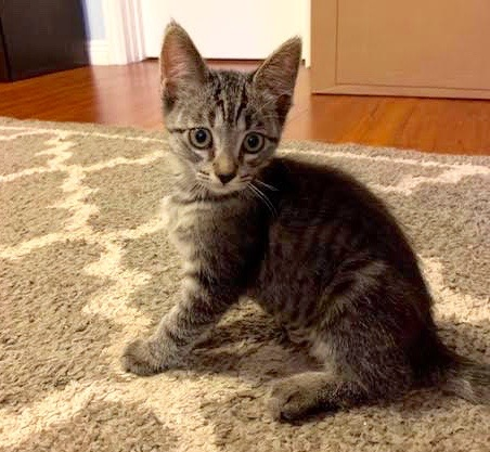 [picture of Present, a Domestic Short Hair gray tabby\ cat]