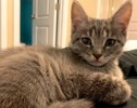 A picture of #ET03124: Bow a Domestic Short Hair silver