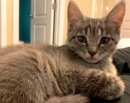 [picture of Bow, a Domestic Short Hair silver\ cat]