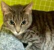A picture of #ET03125: Savannah a Domestic Short Hair silver