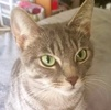 [picture of Savannah, a Domestic Short Hair silver cat]